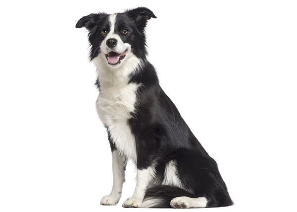 Border Collie (1,5 year old) sitting and looking away