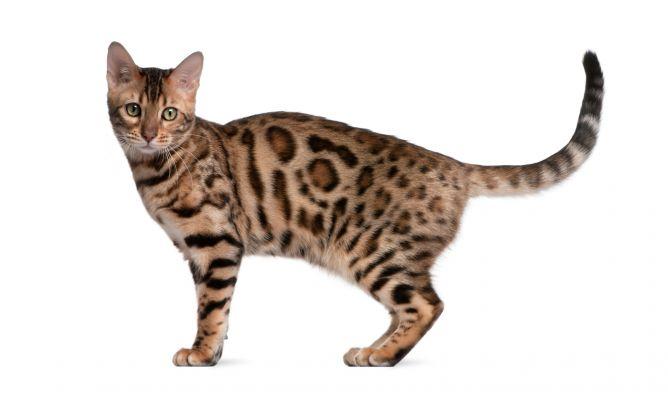 Gato corto